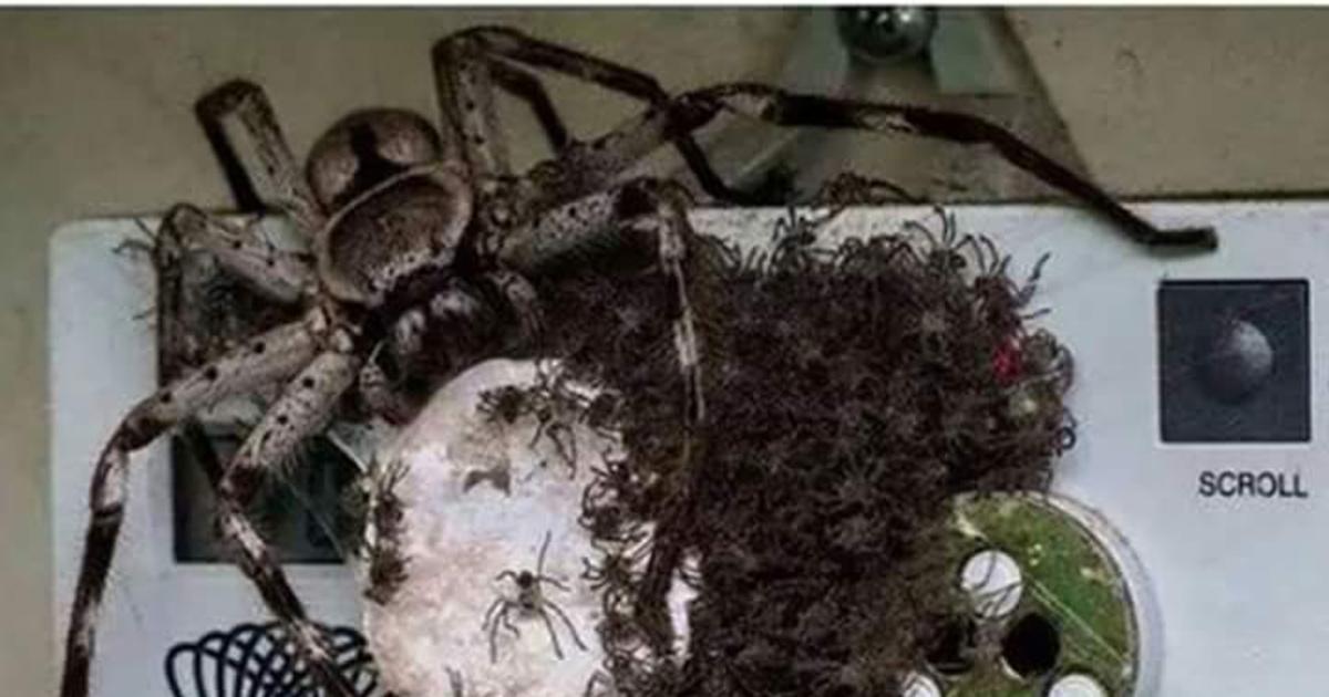 Существуют ли на самом деле пауки-людоеды?