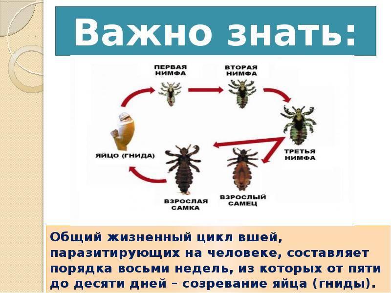 Головная вошь: фото, цикл развития, сколько живут и как размножаются?