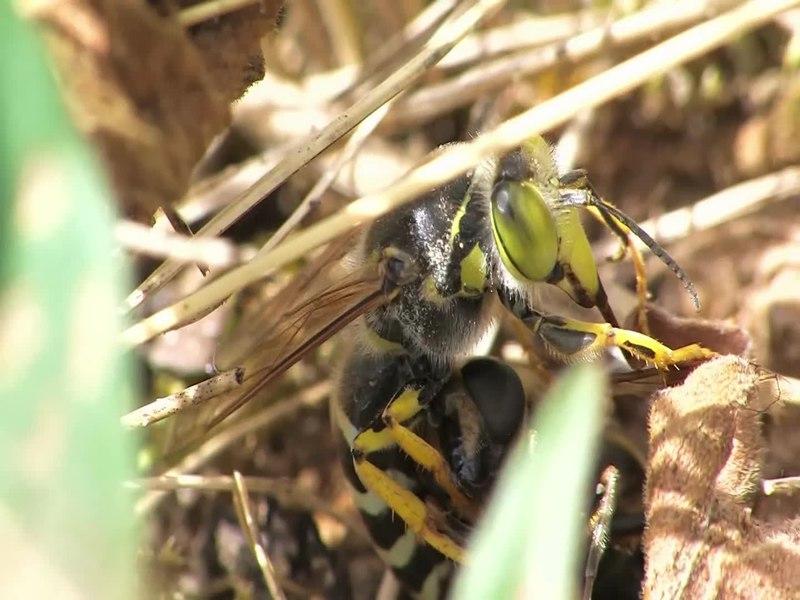 Бембекс носатый — полосатый истребитель мух