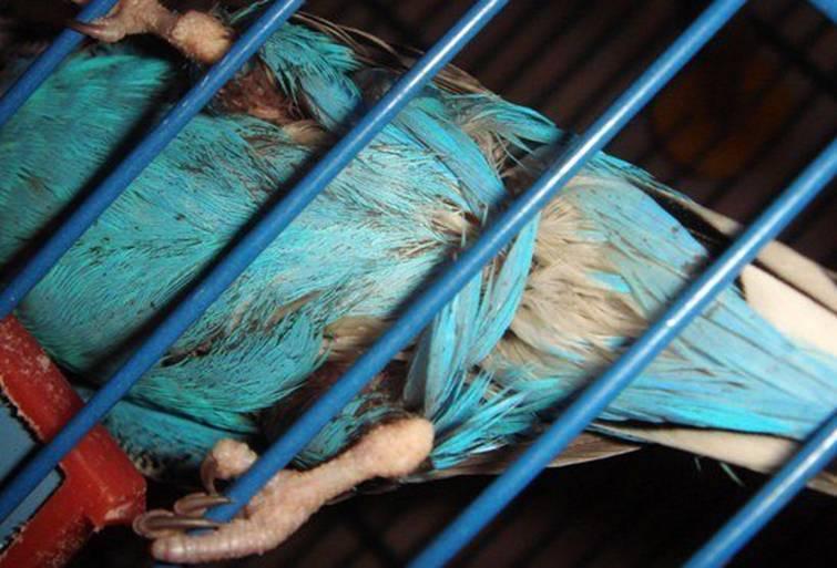 Как вывести блох у попугаев: химические препараты и народные средства