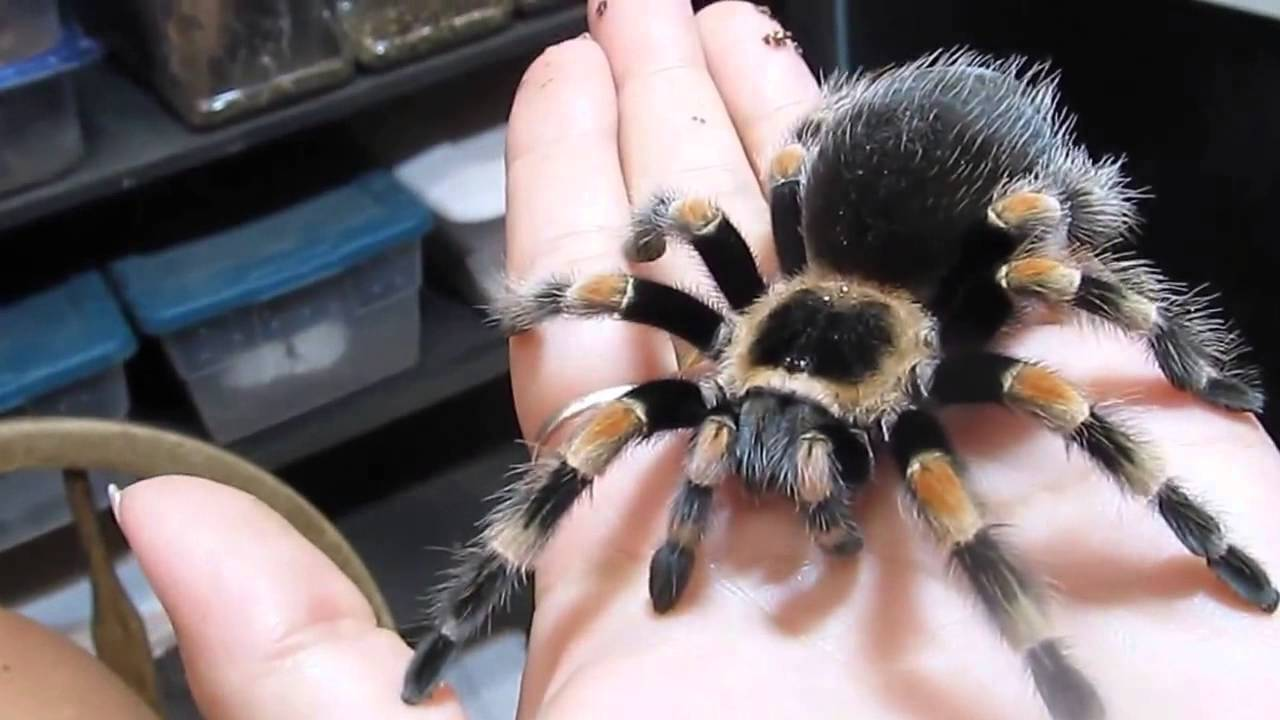 Домашние тарантулы — правильное содержание и чем кормить?