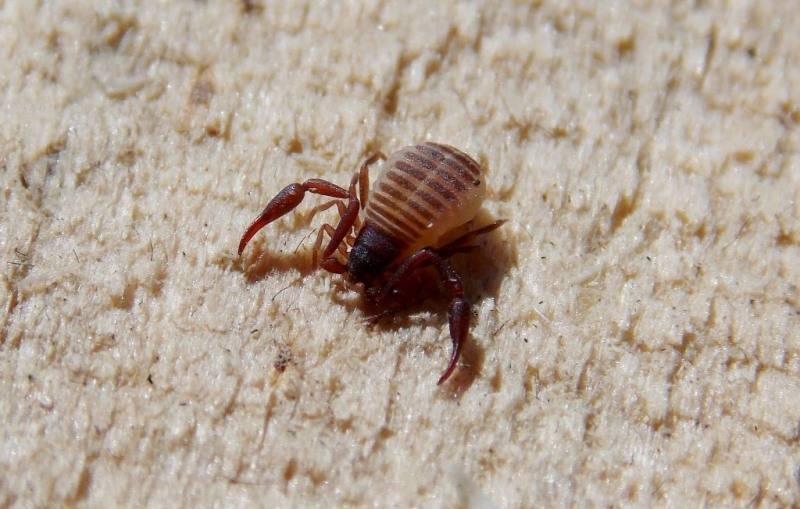 Златоглазка: описание насекомого, обзор пользы на участке и в доме, как избавиться от нее в квартире