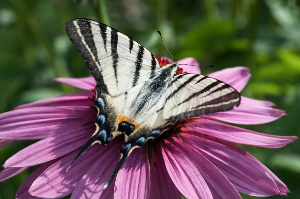 Бабочка траурница: фото и описание лесной долгожительницы