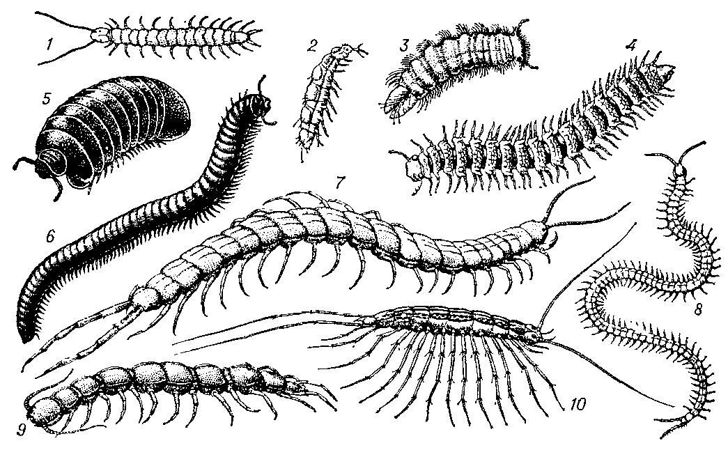 Сороконожка это насекомое или нет, фото, классификация