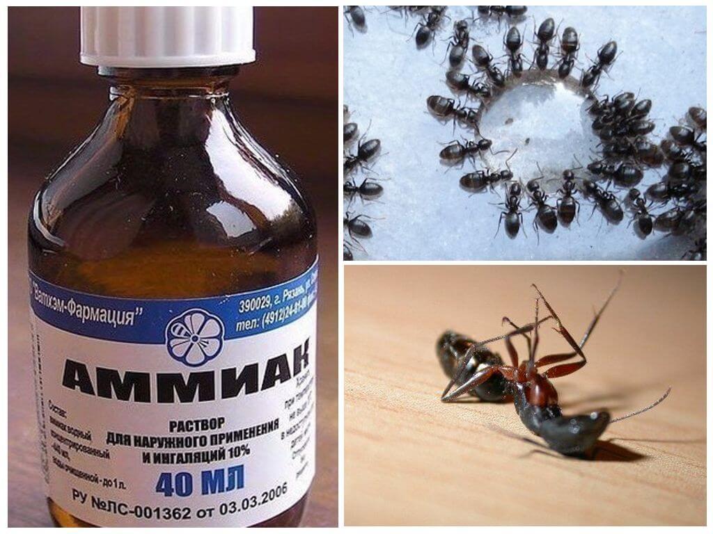 Нашатырный спирт от муравьев на огороде и против тли: применение от вредителей в теплице и на грядках, как бороться с помощью аммиака