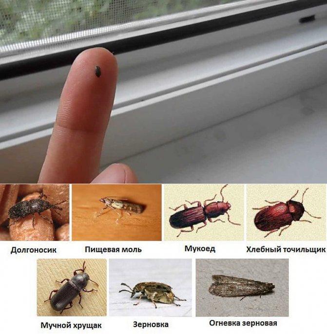Коричневые жуки — маленькие незваные гости дома - квартира, дом, дача - медиаплатформа миртесен