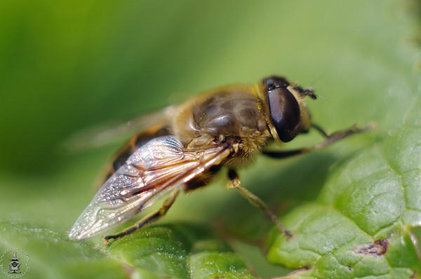 Медоносная пчела: дикое или домашнее животное, полное или неполное превращение, характеристика и строения тела