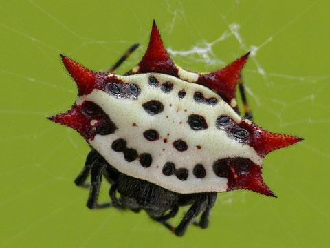 Особый вид арахнидов — кругопряды. пауки, чье мастерство плетения сетей вызывает восхищение. паук-кругопряд: как выглядит, где живёт, что ест строение ловчей сети пауков кругопрядов