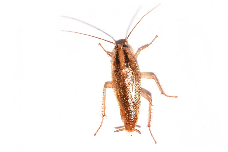Таракан – виды, что едят, как избавиться от тараканов, фото