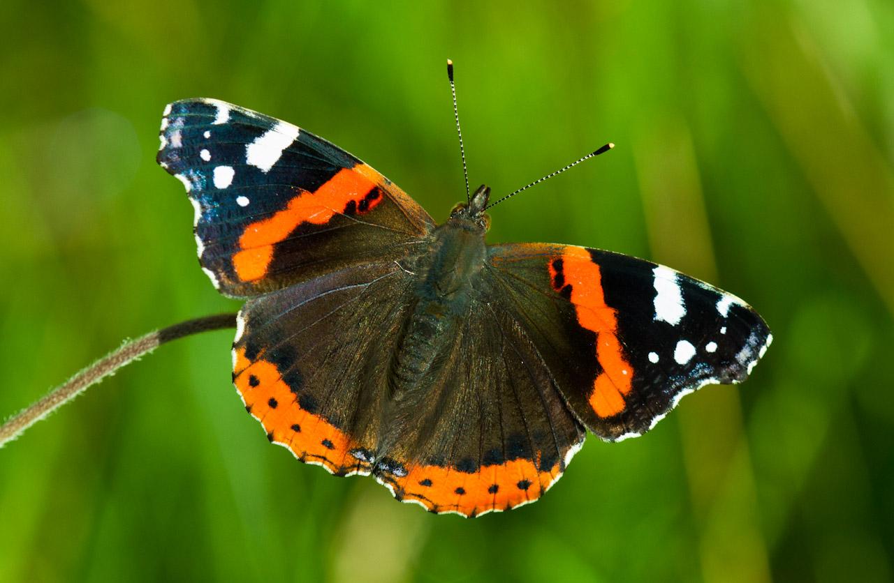 Бабочка адмирал или генерал. фото и описание | mp