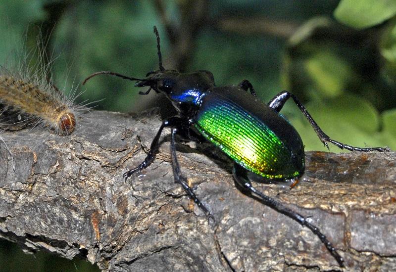 Красотел пахучий: почему так назвали жука и где он живет