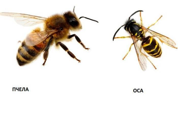 Оса и пчела — различия и сходства, фото - oozoo.ru
