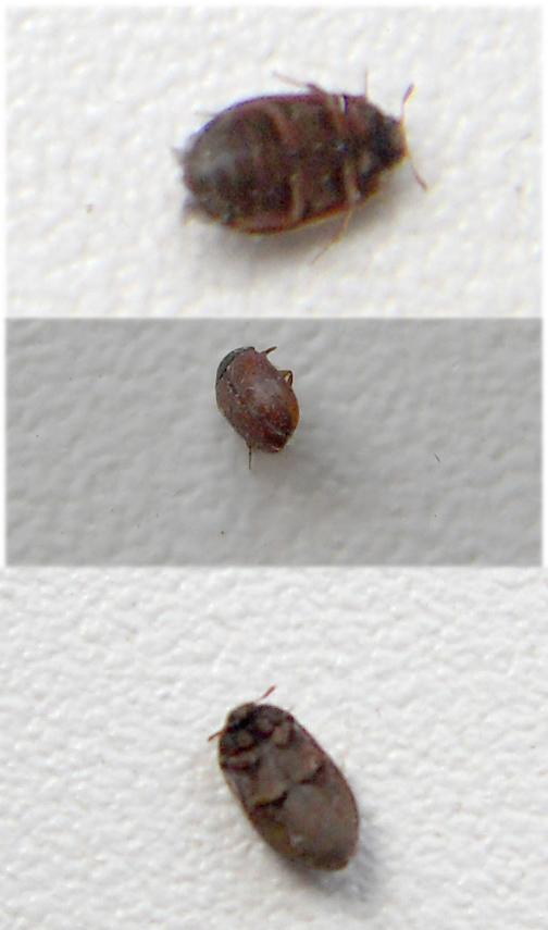 Маленькие коричневые, черные жучки в квартире: кто это такие, откуда появились, как избавиться