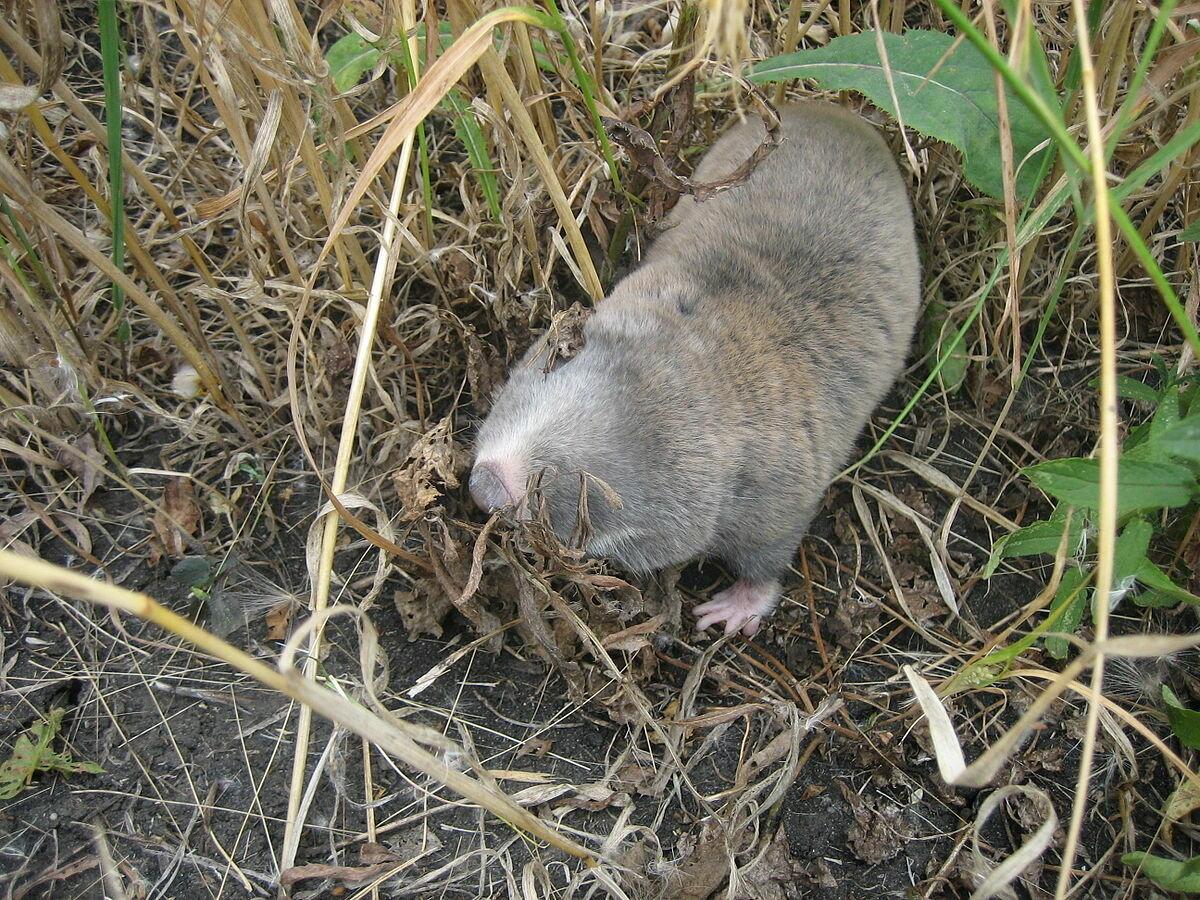 Как выглядит земляная крыса и как с ней бороться?