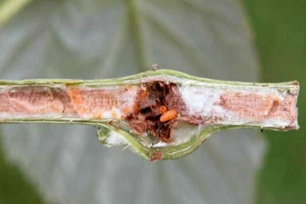 Малиновая муха и борьба с ней