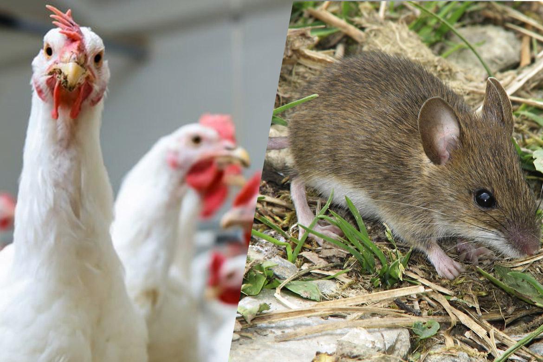 ❶ кто ест клопов дома и в природе ? естественные враги