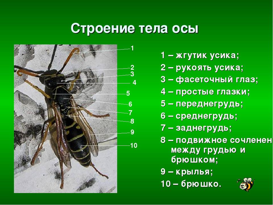 """Конспект """"класс насекомые"""" - учительpro"""
