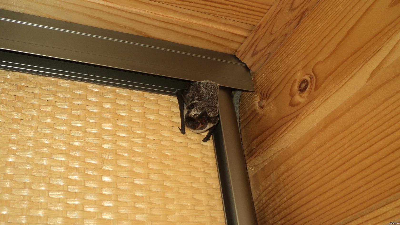 Летучая мышь залетела в квартиру – как вывести непрошенного гостя?