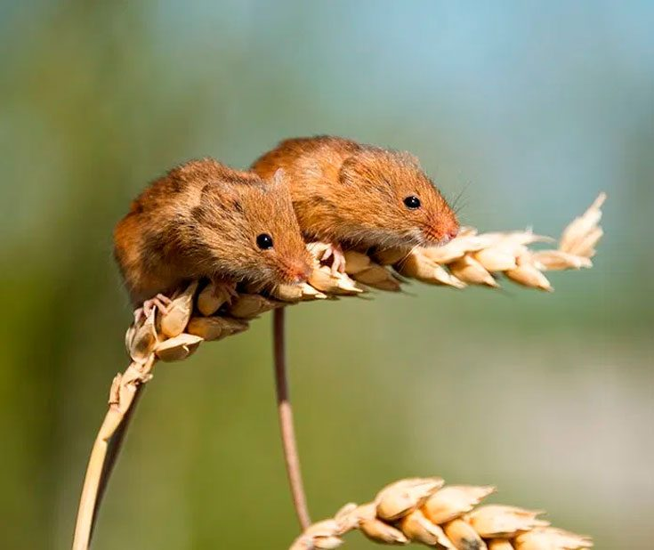 Как быстро и эффективно избавиться от полевых мышей?