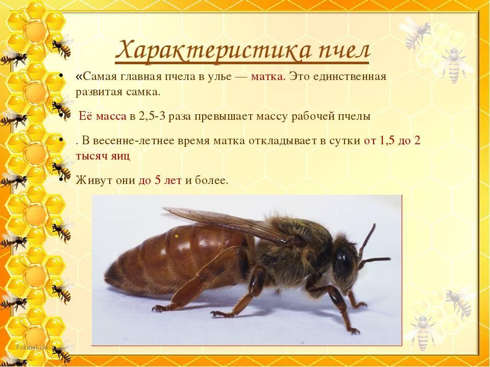 Медоносная пчела: описание, особенности строения, образ жизни трутней и матки