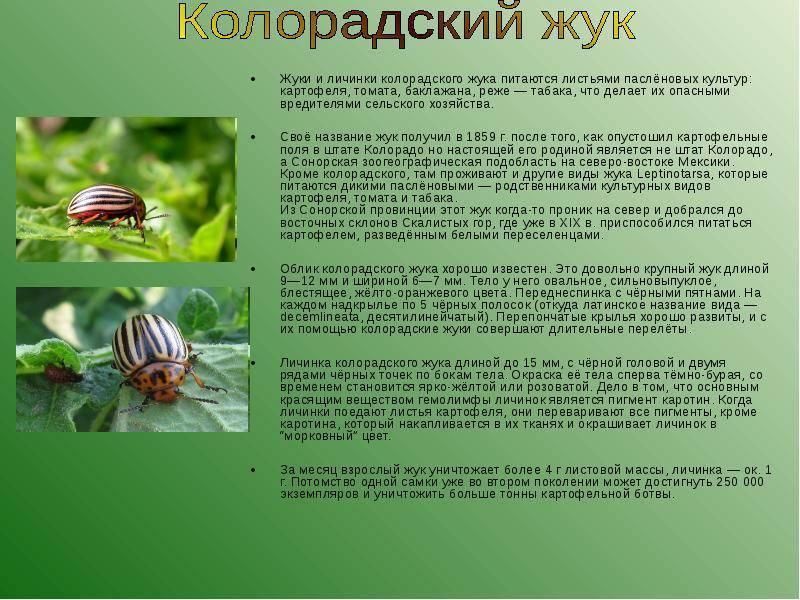 Лучшие средства борьбы с колорадским жуком: народные без химии (горчица, уксус) и инсектициды