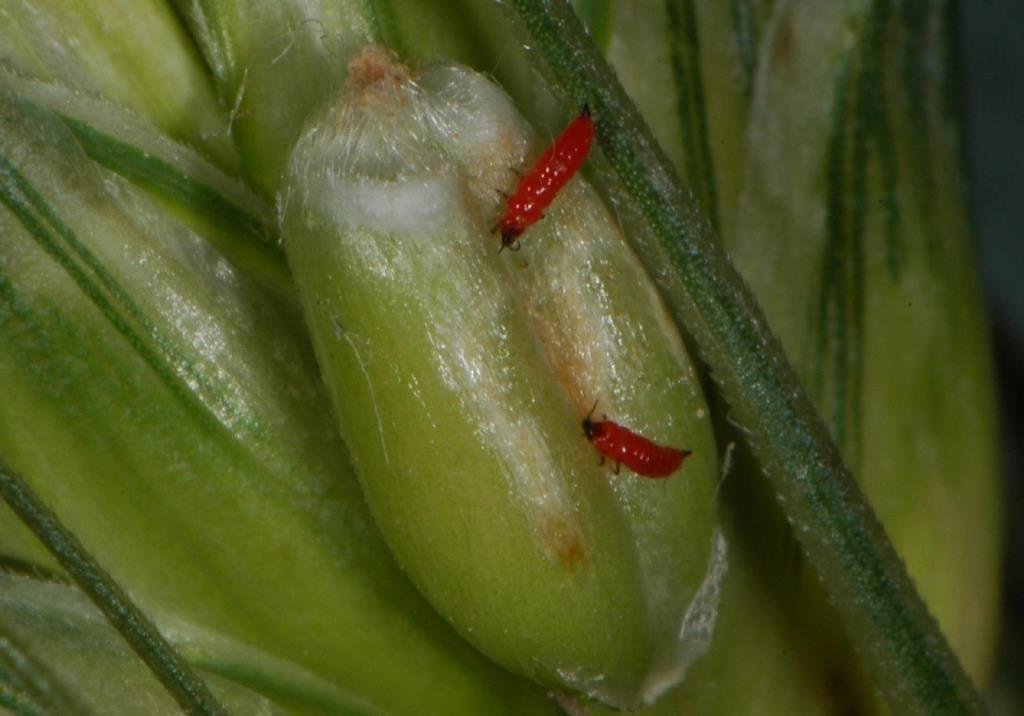 Трипсы на пшенице борьба с ним. пшеничный трипс: особенности развития, природные враги и способы борьбы с вредителем