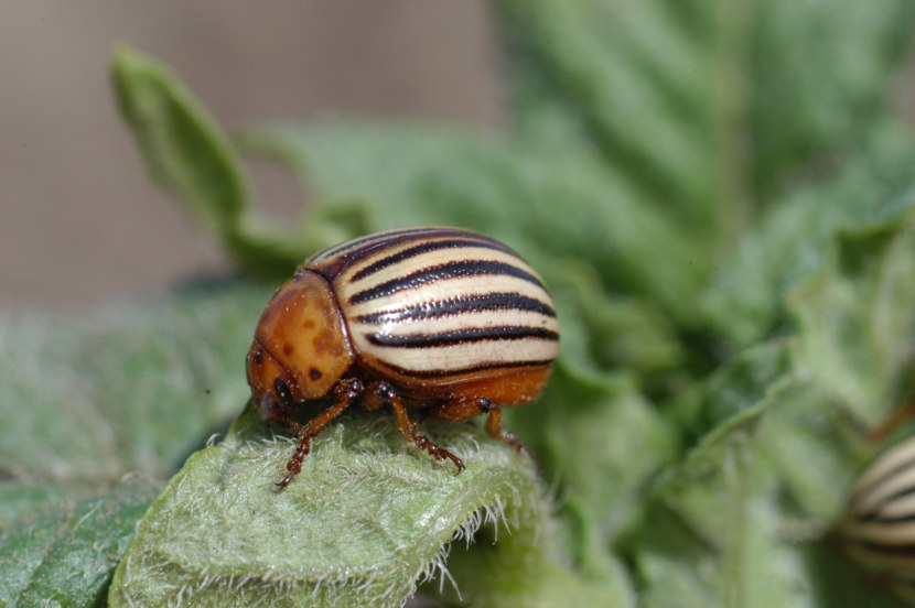 Откуда взялся в россии колорадский жук. ссср и колорадские жуки | дачная жизнь
