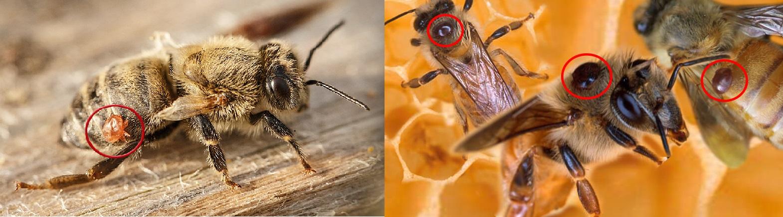 Инвазионные болезни медоносных пчел