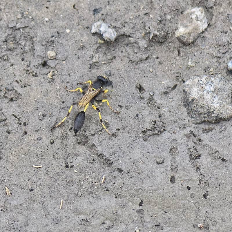 Оса сцелифрон: отличительные черты и опасность исчезновения насекомого