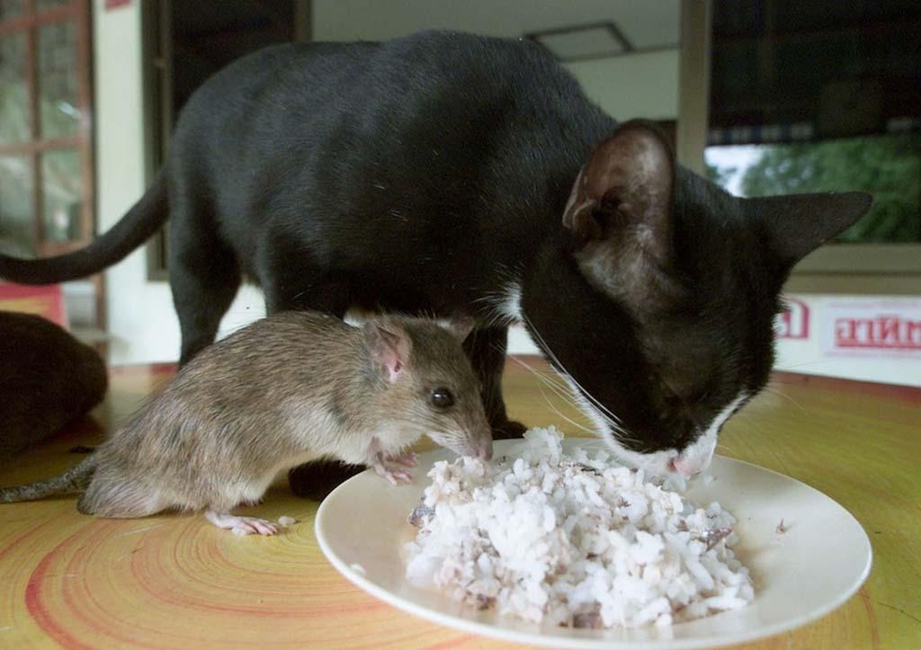 Едят ли кошки мышек и чем опасна охота на грызунов?