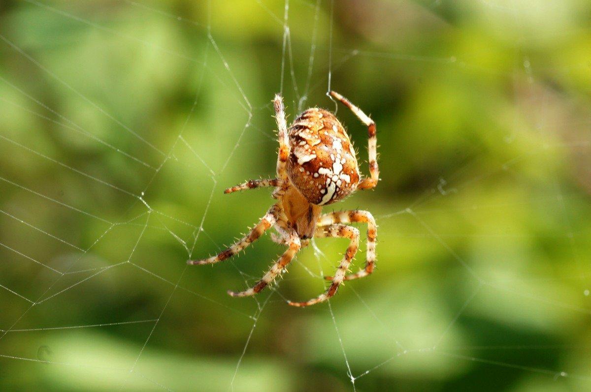 Сонник большой паук крестовик. к чему снится большой паук крестовик видеть во сне - сонник дома солнца