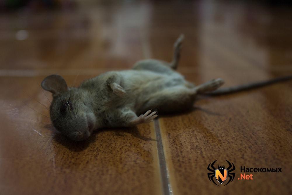 Могут ли мыши лазить по стенам дома,что делать?