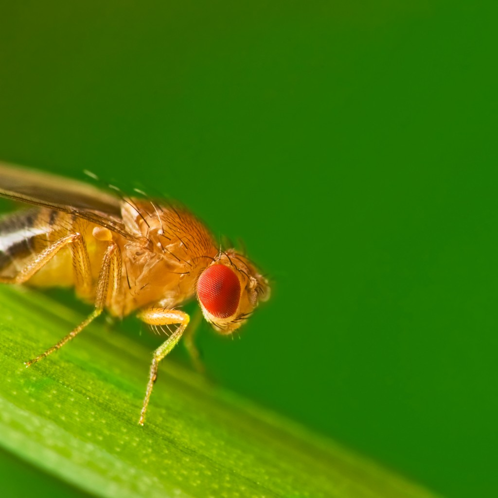 Дрозофилы: как избавиться от назойливых мух, ловушки и другие средства