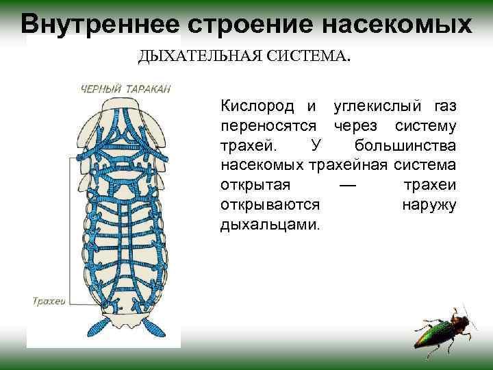 Общая характеристика строения таракана