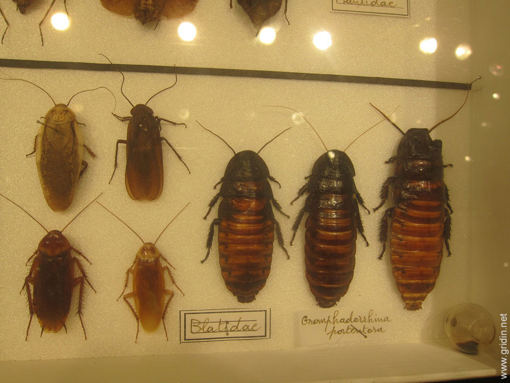 Домашние тараканы: фото, названия видов и описание