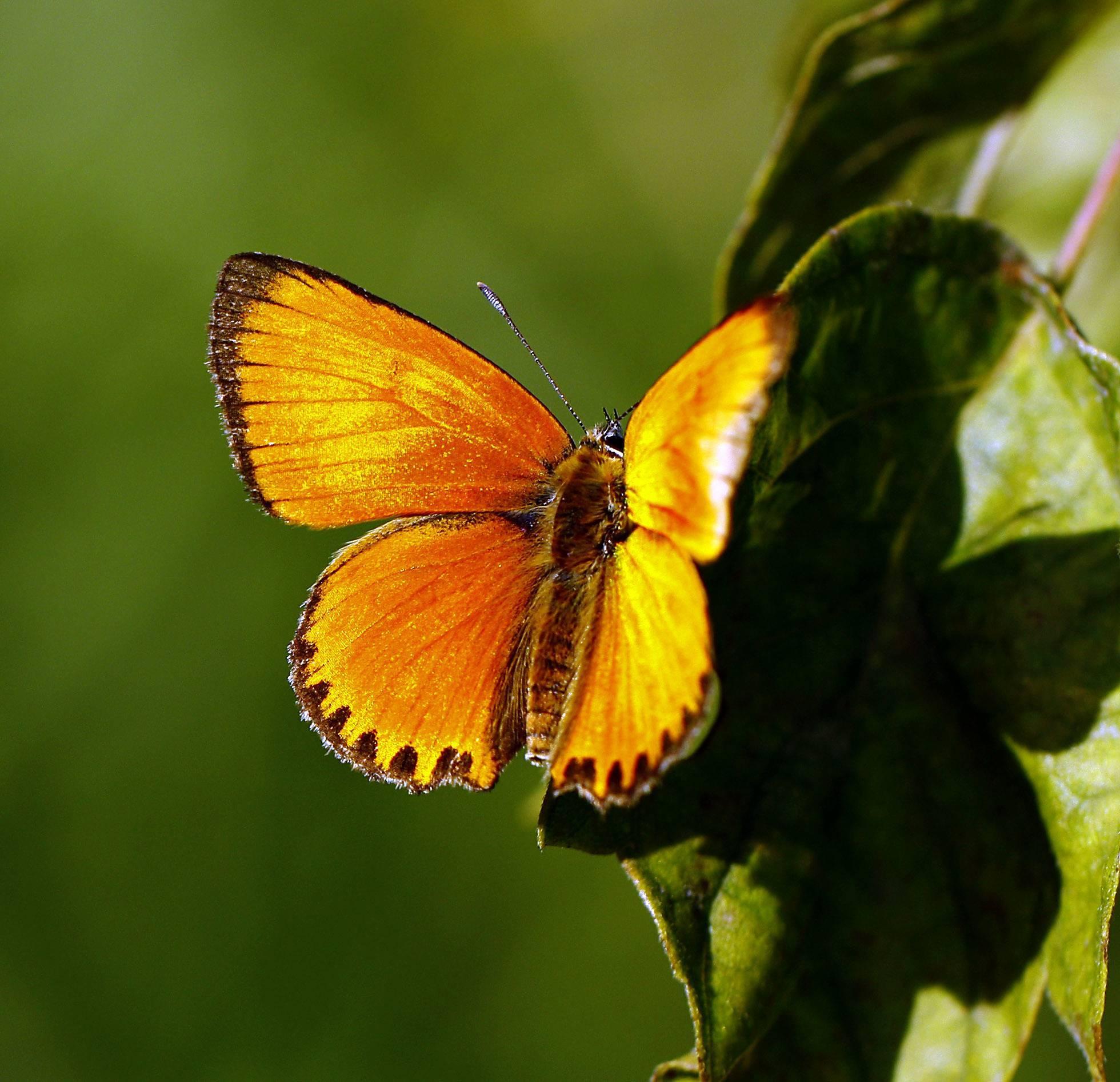 Бабочки ленинградской области | коротко и ясно о самом интересном