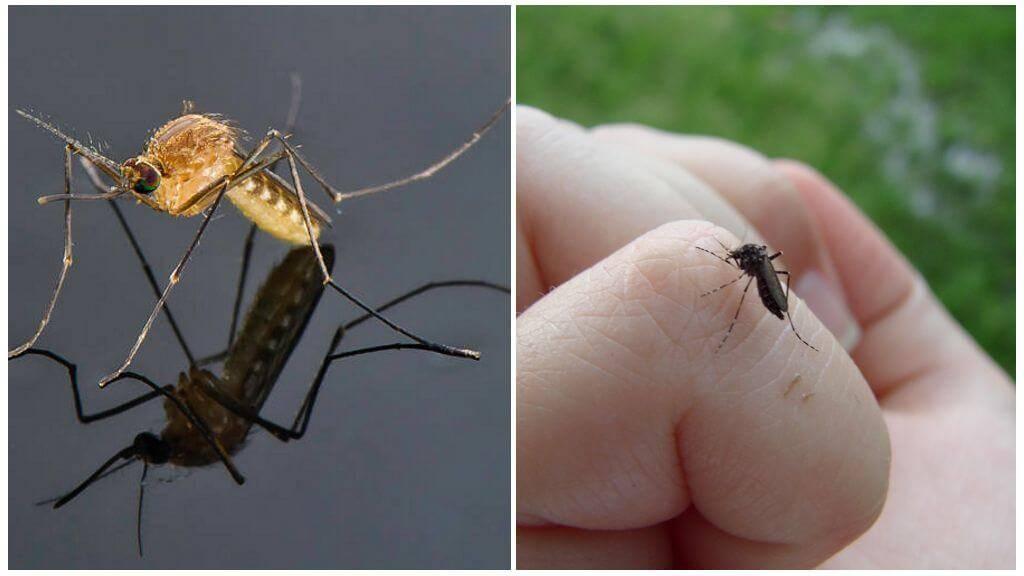 Сколько живут комары: жизненный цикл насекомого