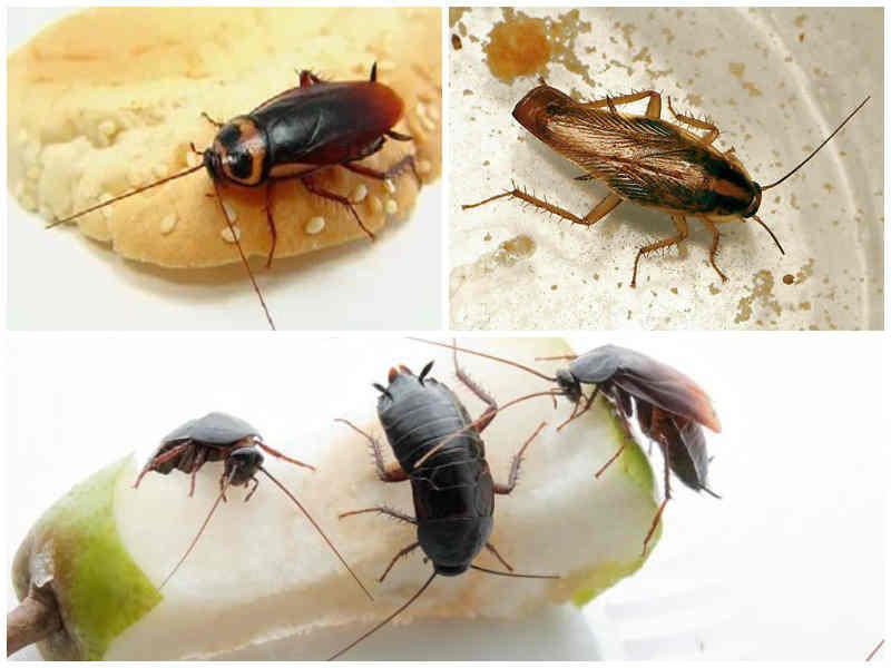 Как избавиться от черных тараканов в домашних условиях. черный таракан: какие бывают и откуда берутся