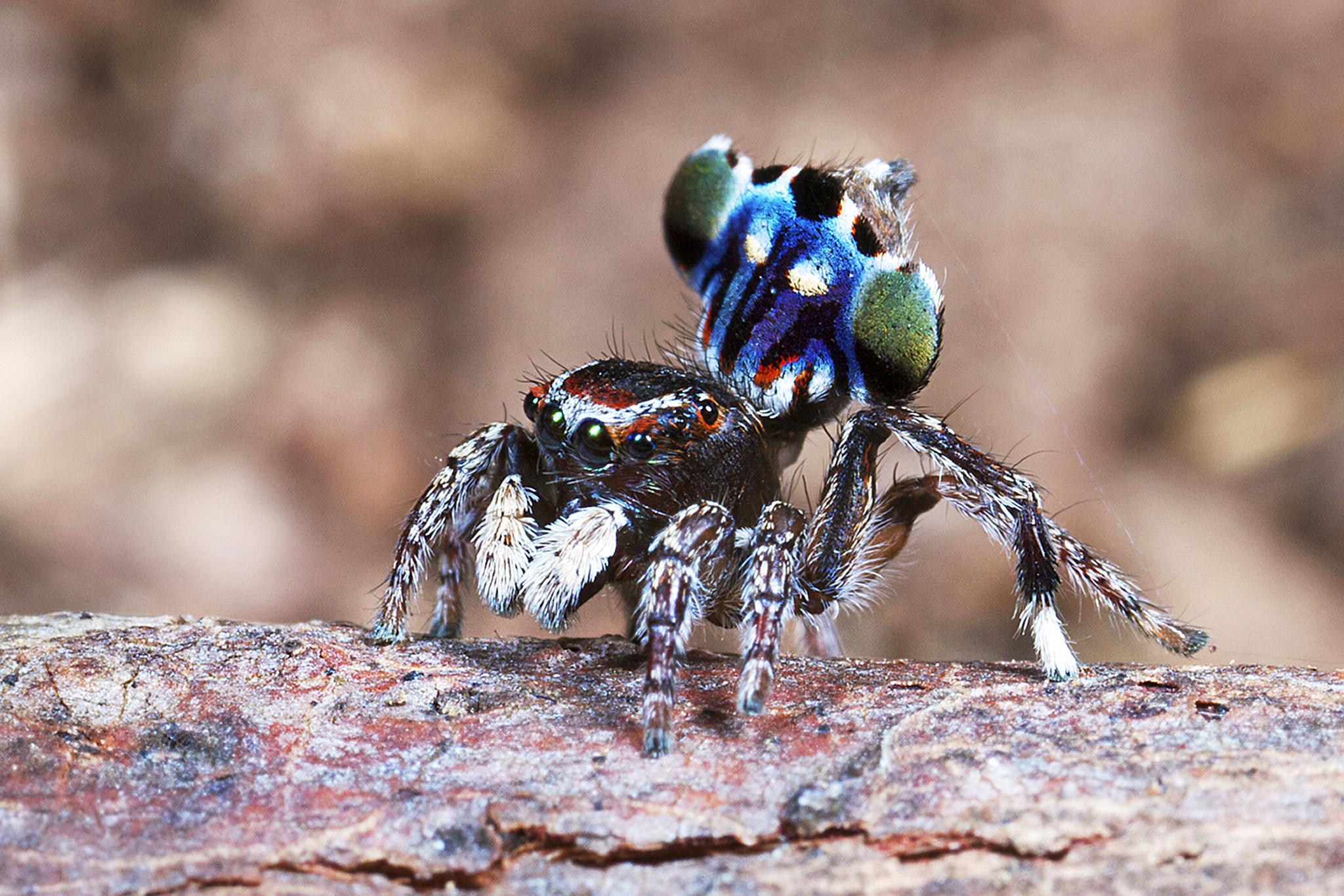 Паук-скакун – фото, описание, виды, питание, содержание, купить
