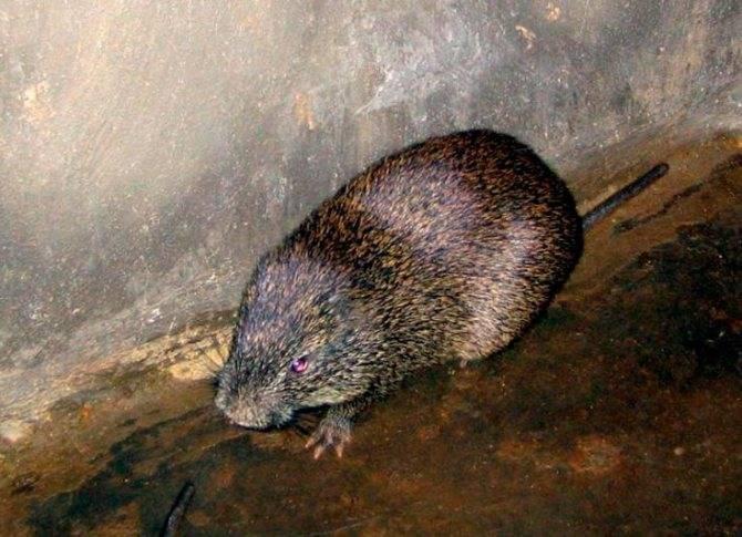Самые большие крысы в мире: описание с фото, максимальный размер