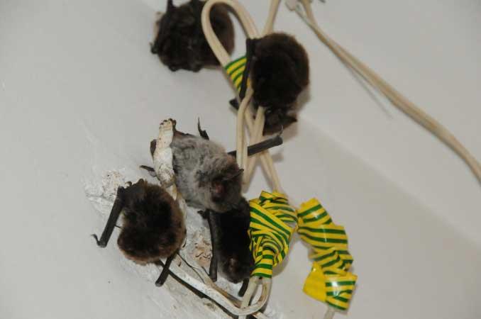 Могут ли мыши прогрызть натяжной потолок