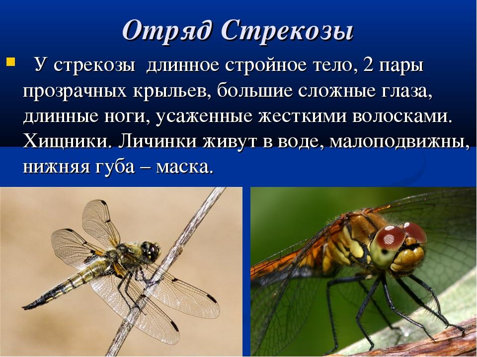 Чем питаются стрекозы?