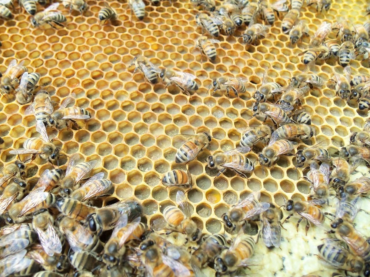 Забрус пчелиный: что это такое, лечебные свойства, как применять, вред и польза