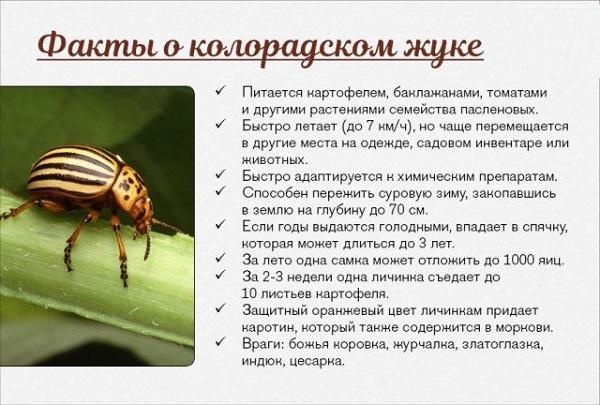 Колорадский жук - история, описание вида, среда обитания, образ жизни, и как бороться с вредителем