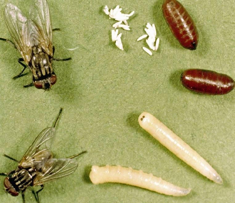 Как избавиться от мух дрозофил