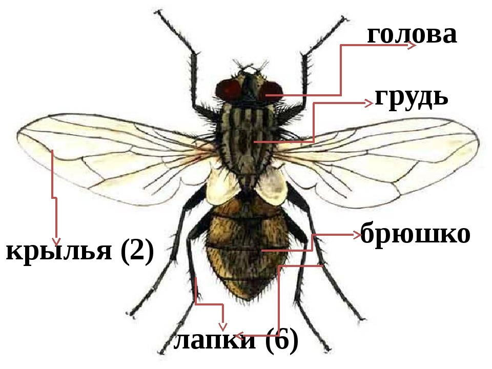 Сколько ног у мухи? сколько весит обыкновенная комнатная муха