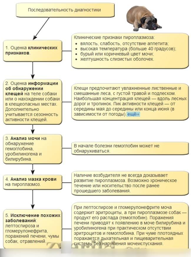 Пироплазмоз у кошек: пути передачи, инкубационный период, симптомы, лечение