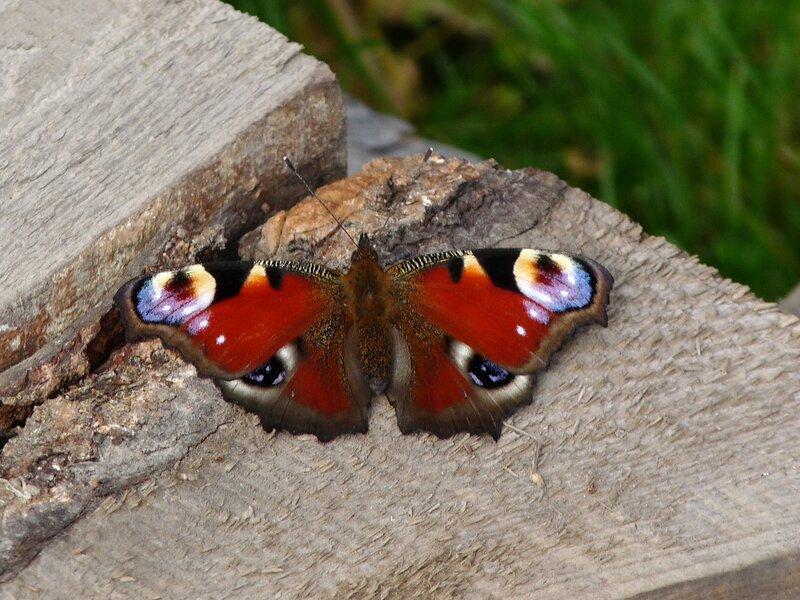 Как зимует бабочка павлиний глаз: особенности поведения насекомого - фермерам и садоводам