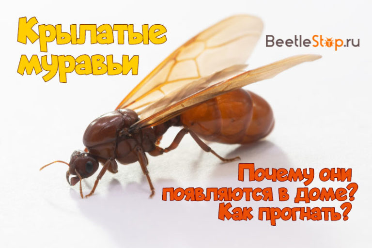 Летающие муравьи в доме - как избавиться и какие средства использовать