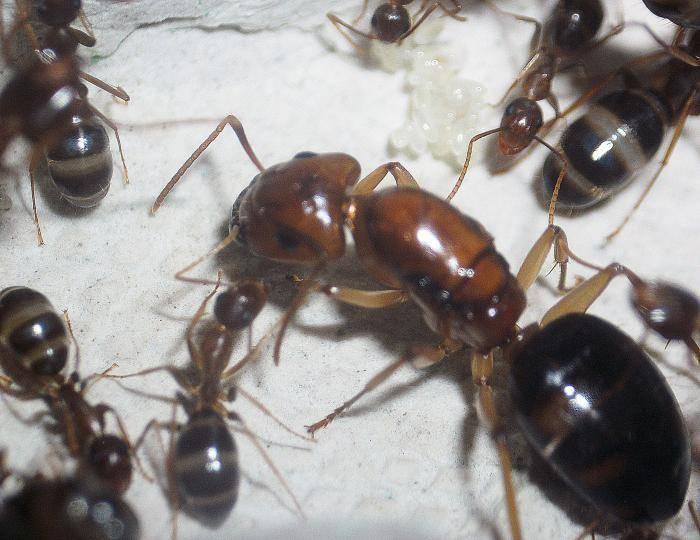 Как выглядит матка домашнего муравья?